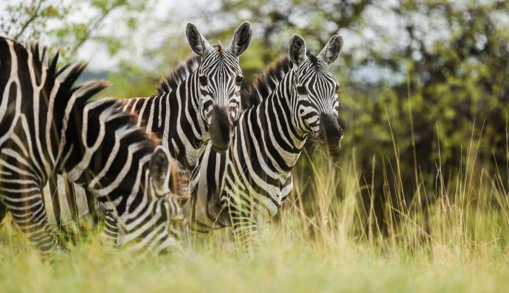 © safari lions afrique