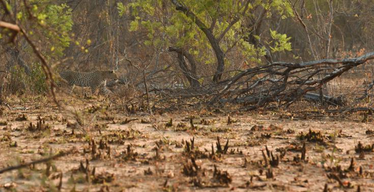 © safari leopard sabi sand timbavati