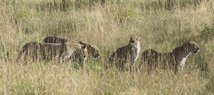 © observation félins Kenya