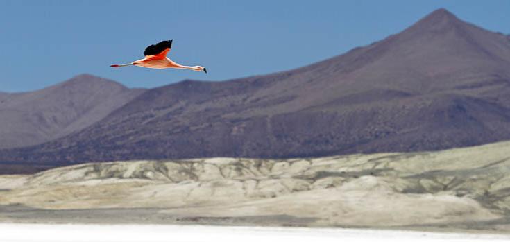© Flamand rose près des lagunes des Andes
