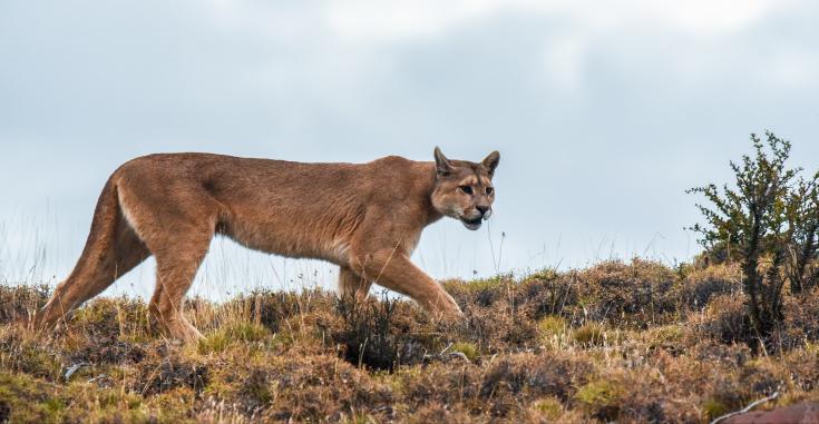 © observation puma patagonie