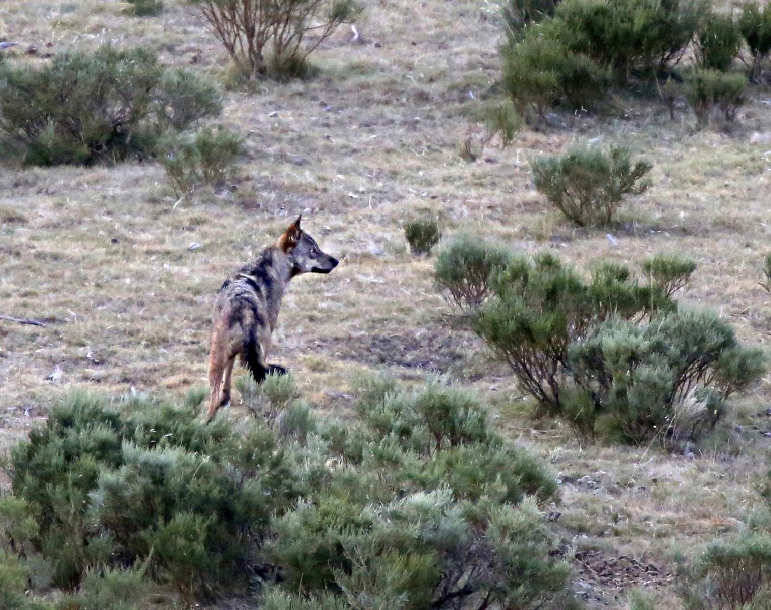 Espagne  Grands prédateurs : ours et loups   Observation nature