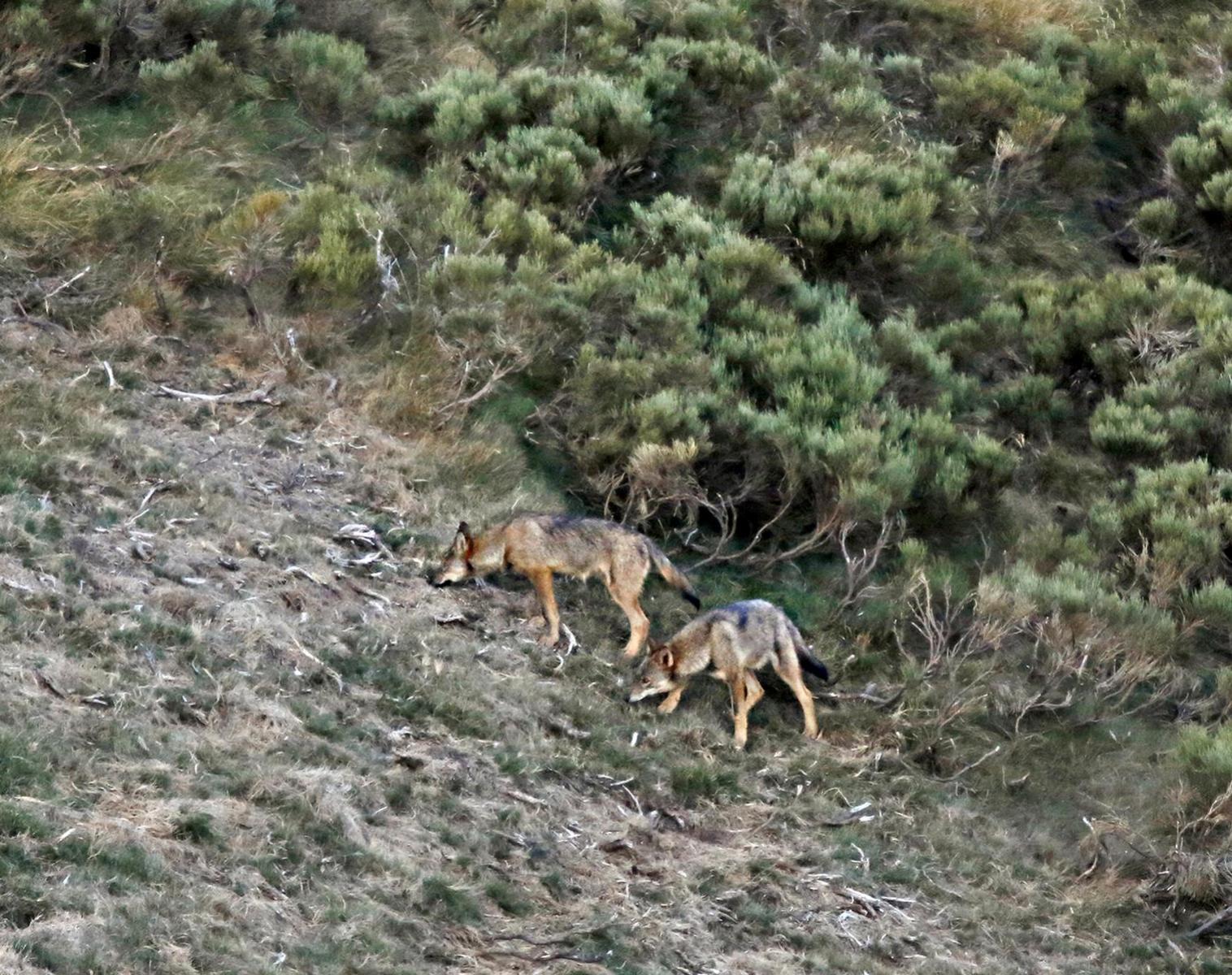 Espagne  Focus loups et chats sauvages   Photo Observation nature