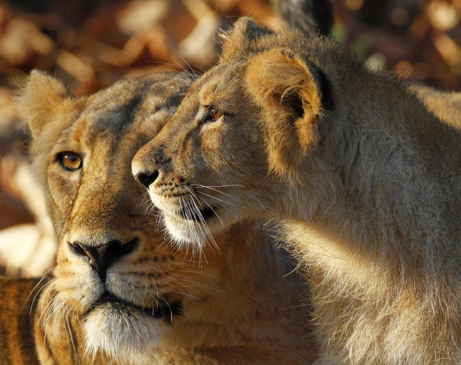Inde  Lions d'Asie, tigres et loups indiens   Photo Observation nature Safari