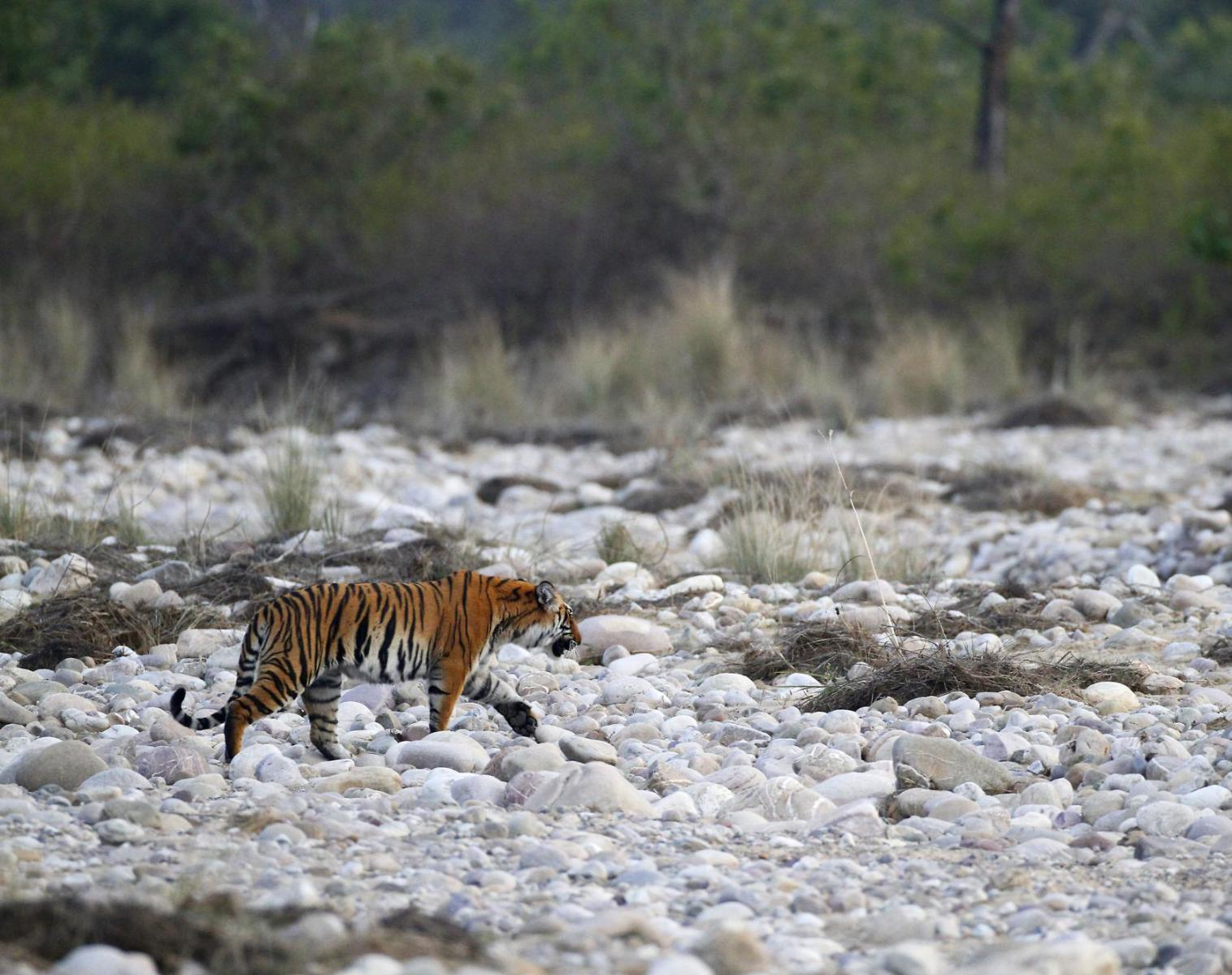 Inde  Focus tigre du Bengale   Photo Observation nature Safari
