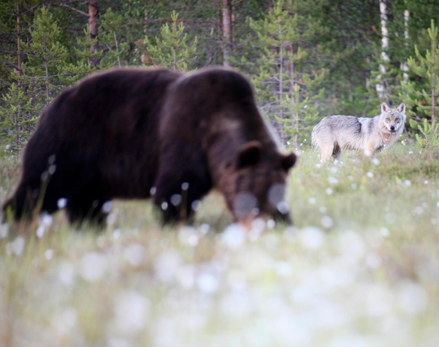 Finlande  Affûts à loups, ours et gloutons   Photo