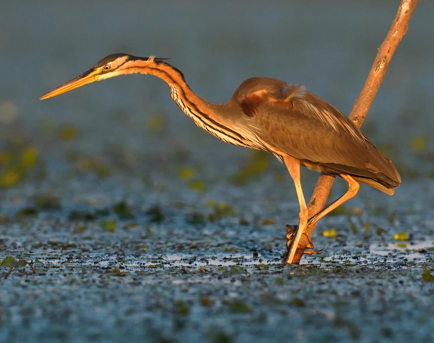 Pologne  Oiseaux et mammifères de Pologne   Photo Observation nature Balade nature