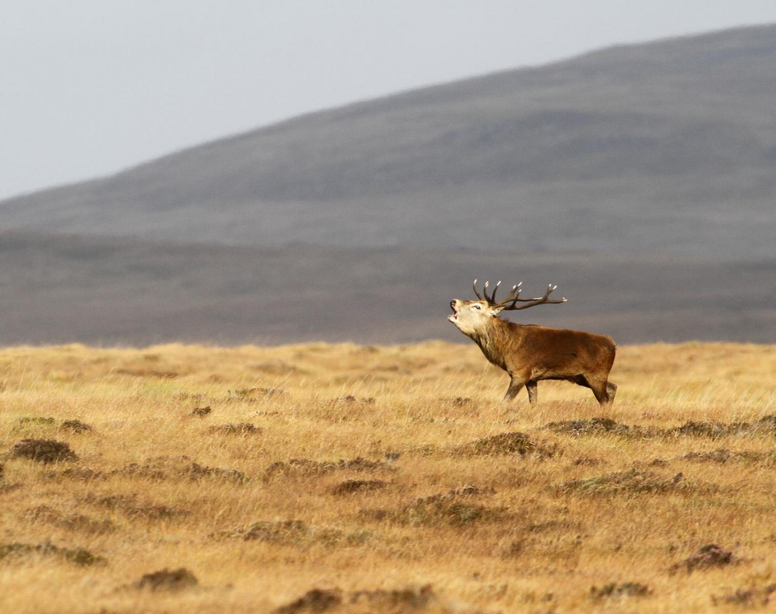Écosse  Brame du cerf et migrations des oies   Photo Observation nature Balade nature