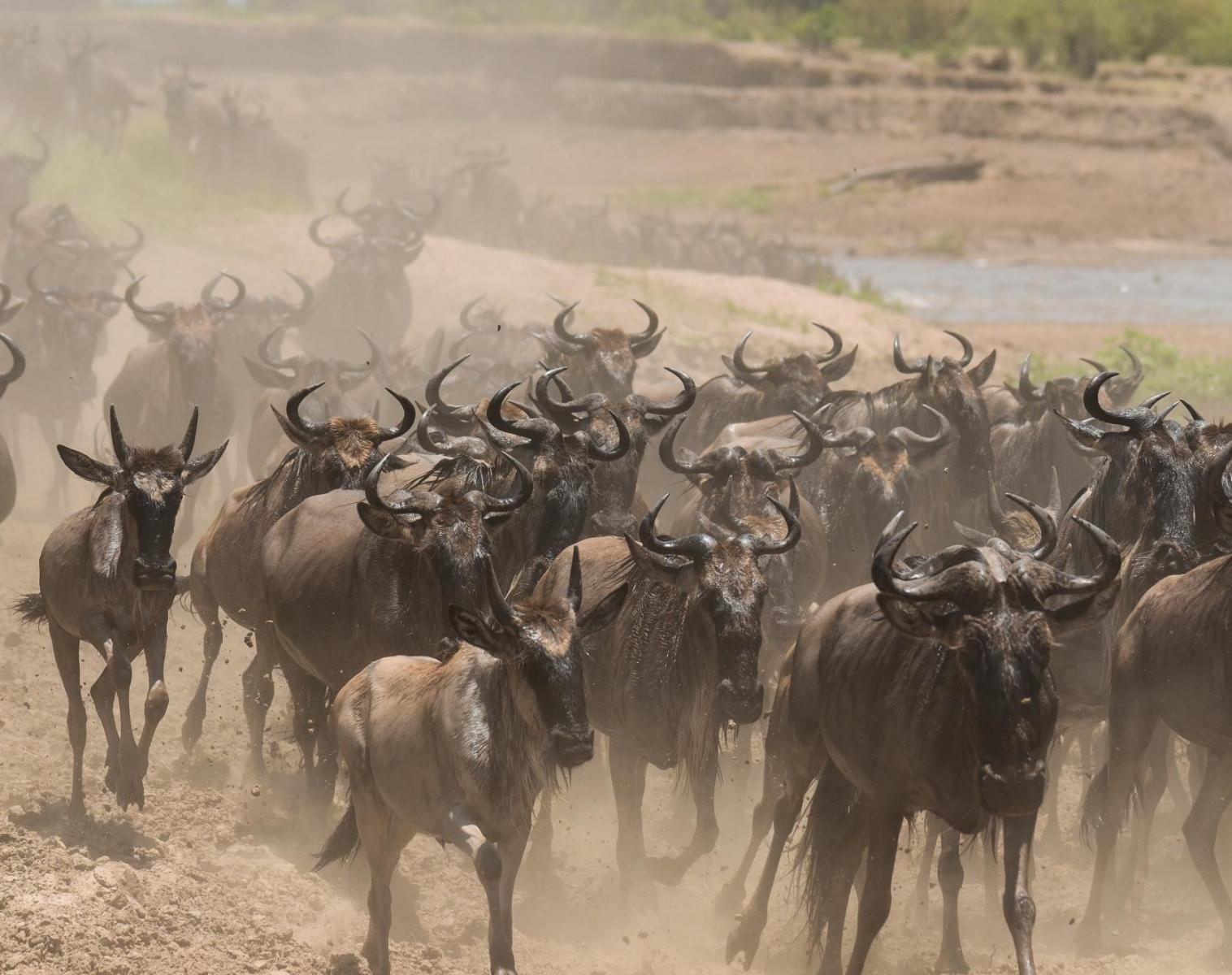 Kenya  Spécial Migrations Maasaï Mara   Photo Observation nature Safari