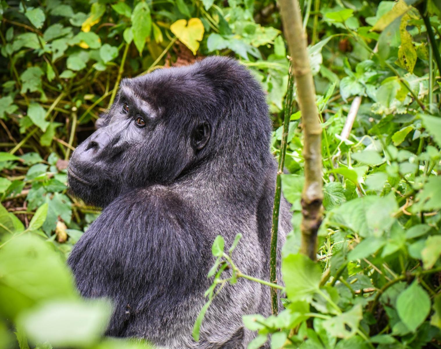 Ouganda  Focus gorilles et chimpanzés, spécial photo   Photo Observation nature Safari Navigation Balade nature