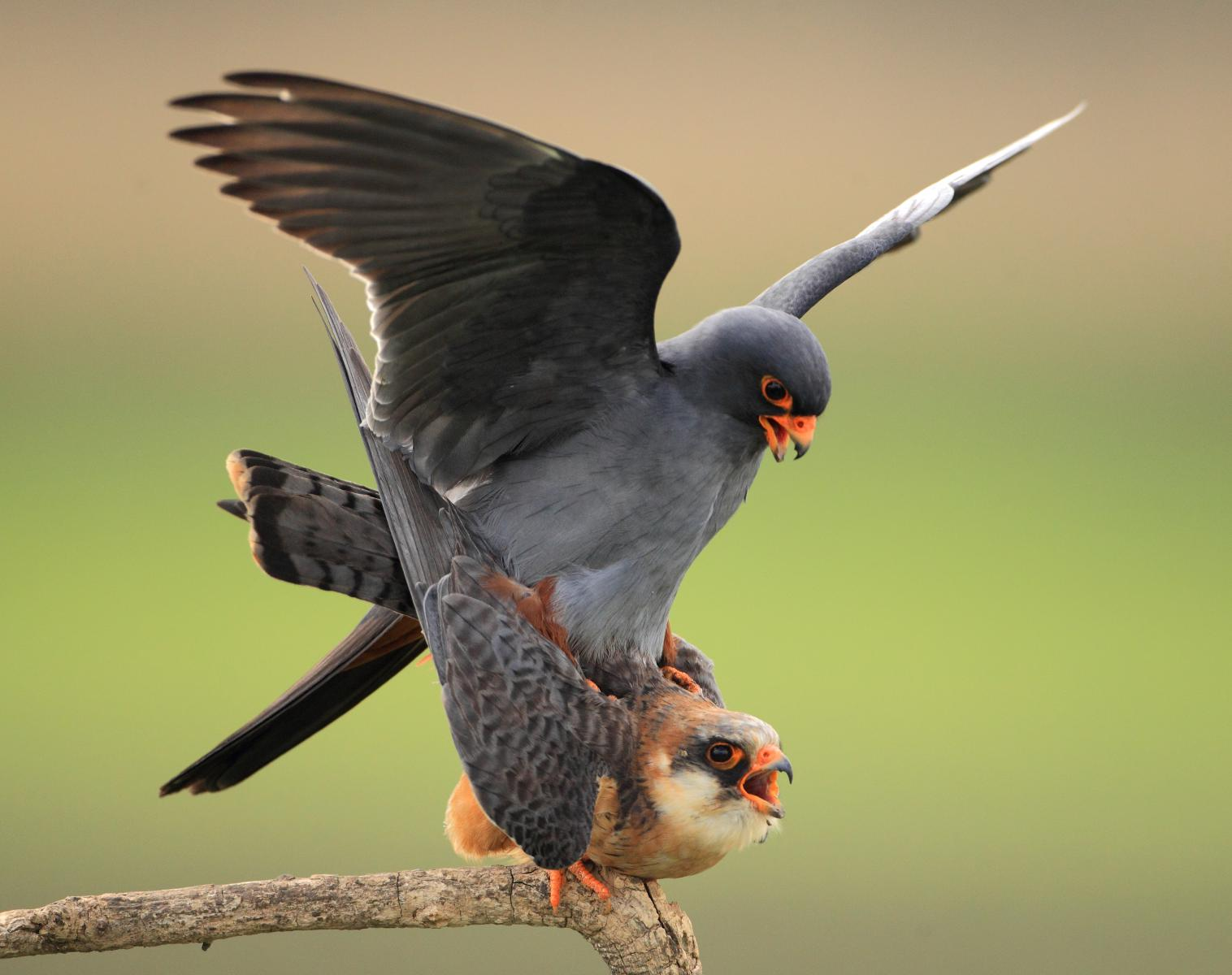 Hongrie  Oiseaux du printemps   Photo Observation nature