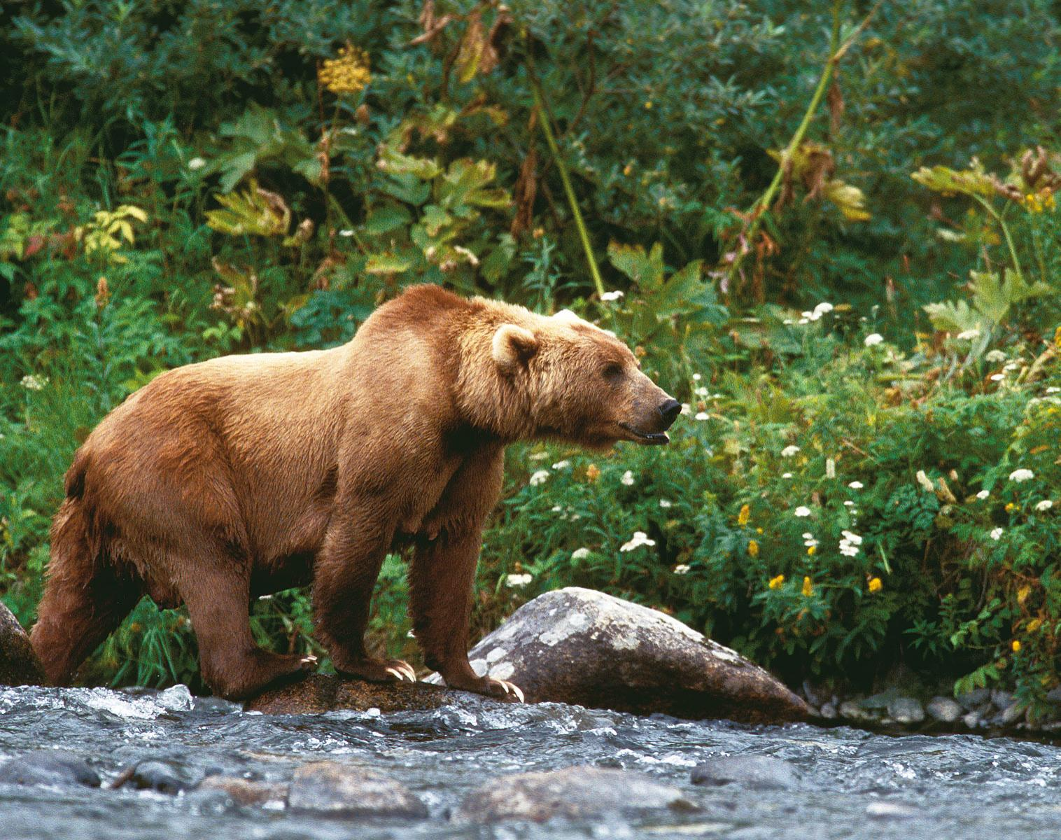 Alaska  Au pays des Ours Kodiak   Photo Observation nature Balade nature