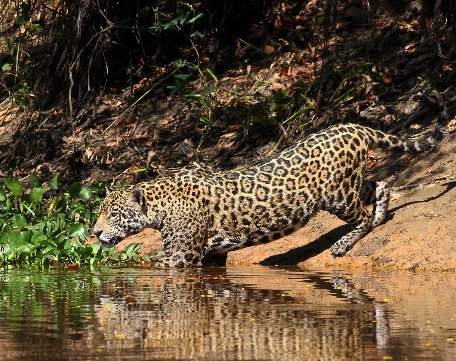 Brésil  Splendeurs du Pantanal   Photo Observation nature