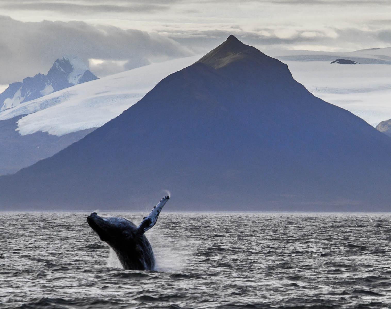 Patagonie  Exploration en Cordillera Darwin : baleines à bosse et canaux de Patagonie   Découverte Trek & Randonnée Kayak & Canoë Observation nature