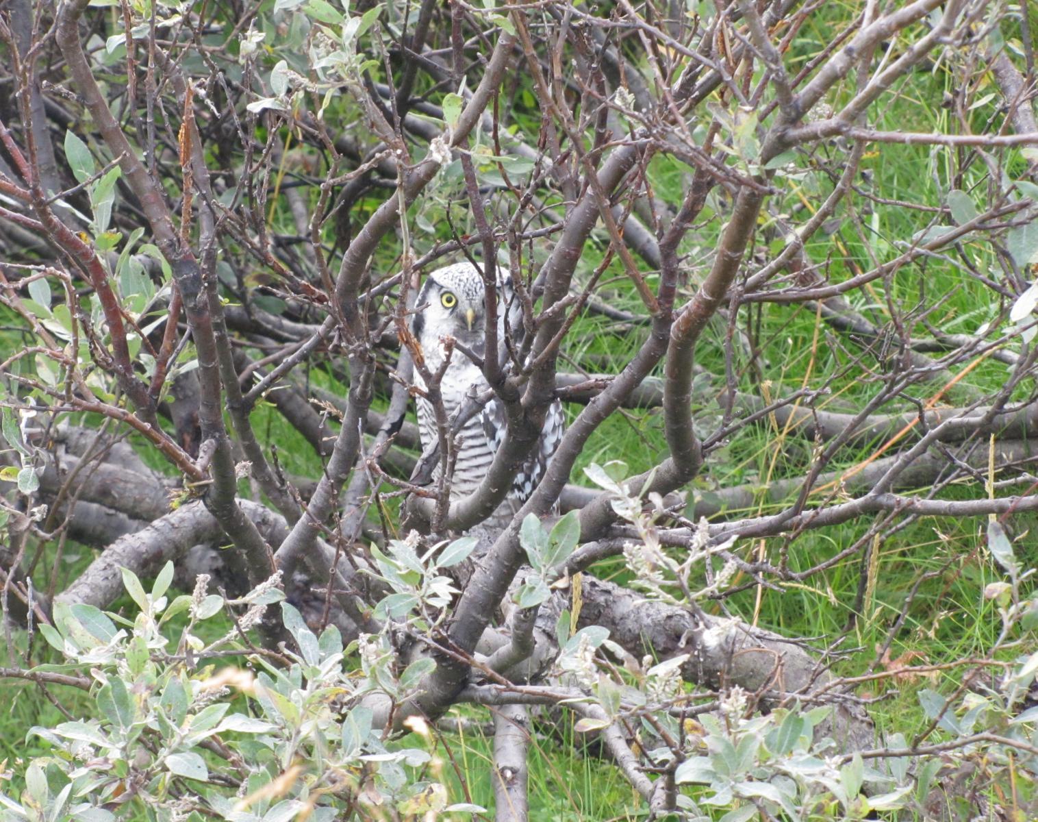 Norvège  Varanger : le paradis ornitho !   Photo Observation nature Balade nature