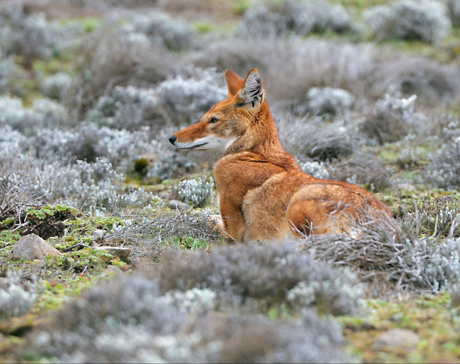 Éthiopie  Abyssinie et Balé : des géladas aux loups   Photo Observation nature Balade nature