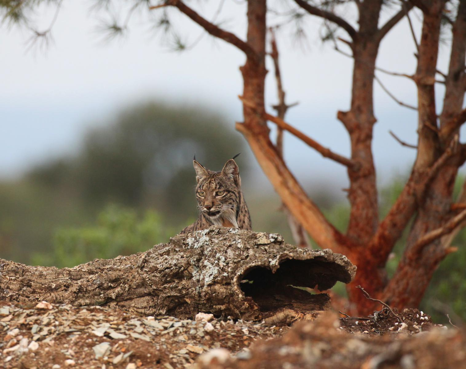 Espagne  Lynx ibérique : affûts photo exclusifs   Photo Observation nature