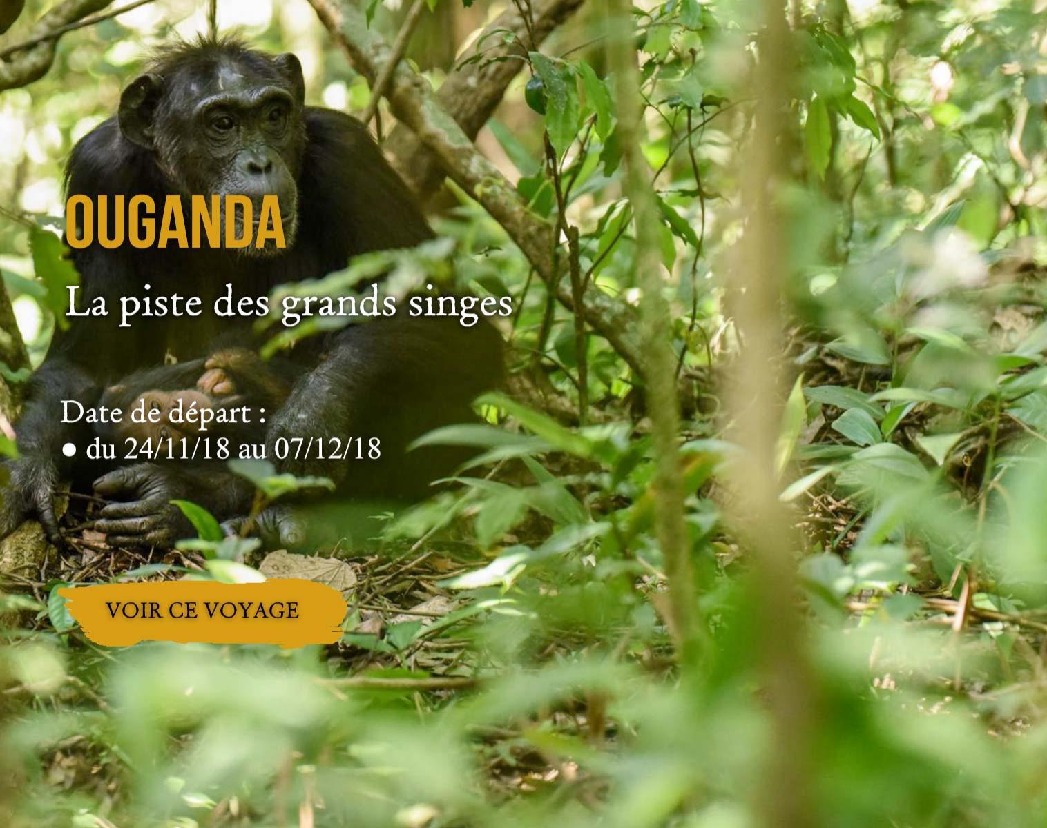 Ouganda, la piste des grands singes