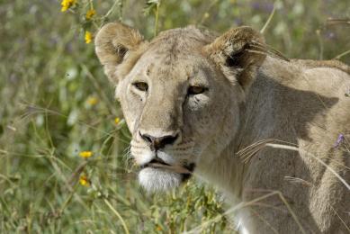 kenya marche avec les maasai safari hell s gate
