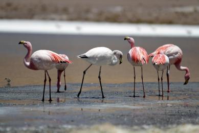 Flamands roses lagunes altiplano Pérou Bolivie randonnée découverte