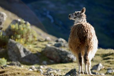 Observation animalière faune vigogne altiplano Pérou voyage marches