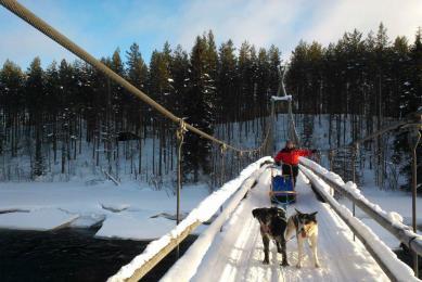 Chien de traineaux Karélie Finlande