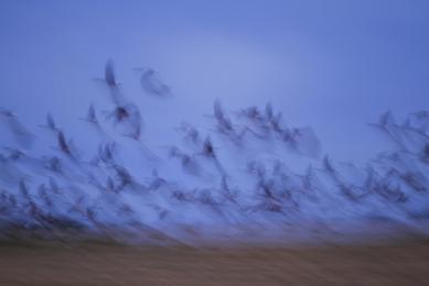 Voyage sur mesure Ecosse Highlands nature photographie Oies cendrées