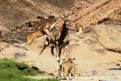 lions desert namibie