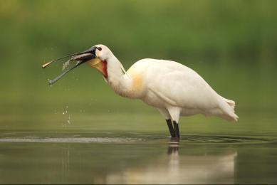 Voyage nature photographique et ornithologique marécages Hongrie oiseaux