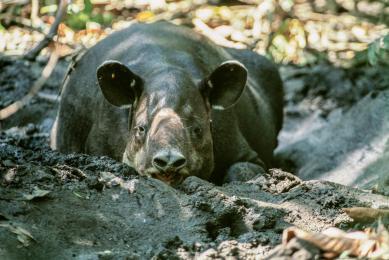observation tapir costa rica