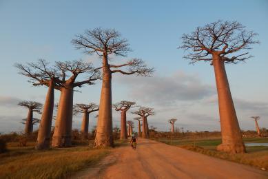 madagascar allee des baobabs