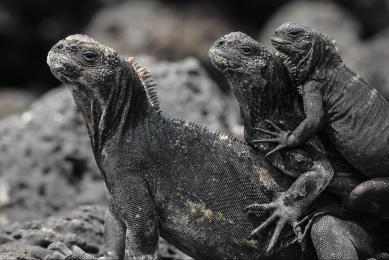 iguanes marins galapagos