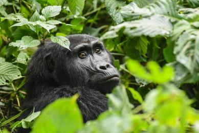 voyage  gorille ouganda