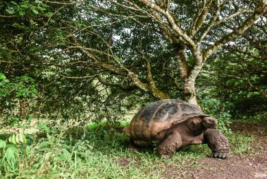 Tortue geante galapagos