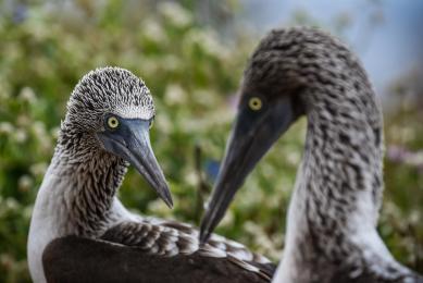 fregate galapagos