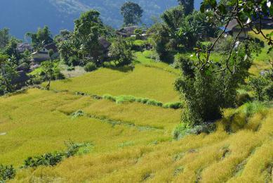 Rizières du Népal, Kangchenjunga