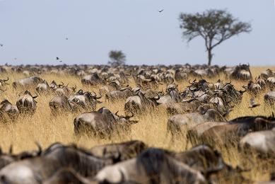 Observation Grande Migration Kenya-Tanzanie