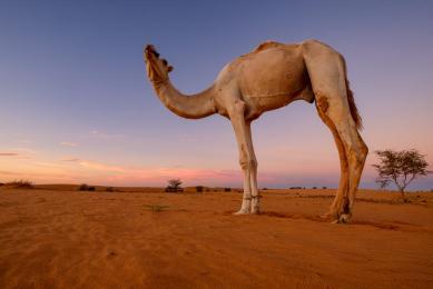 voyage photo dans le sahara voyage en mauritanie avec guide photographe chameau et randonnée chamelière