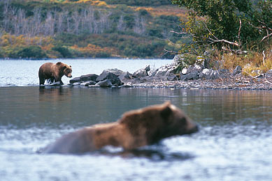 Ours brun Alaska voyage nature découverte trek