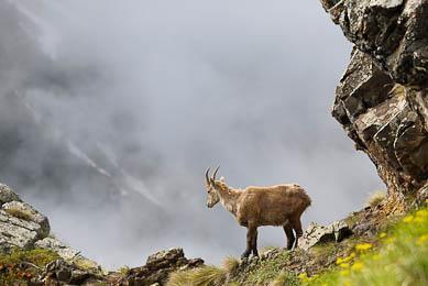 observation animalière faune flore Alpes Ecrins chamois bouquetin