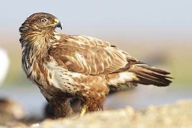 Voyage Europe naturaliste observation pygargue à queue blanche aigle