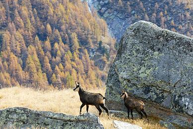 Italie Alpes séjour photographie nature bouquetins chamois