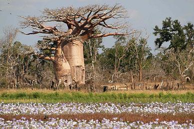 Voyage Madagascar sud  Morondava