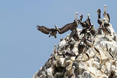 Oiseaux Ornitologie Punta de Coles Chili Bolivie Pérou Voyage